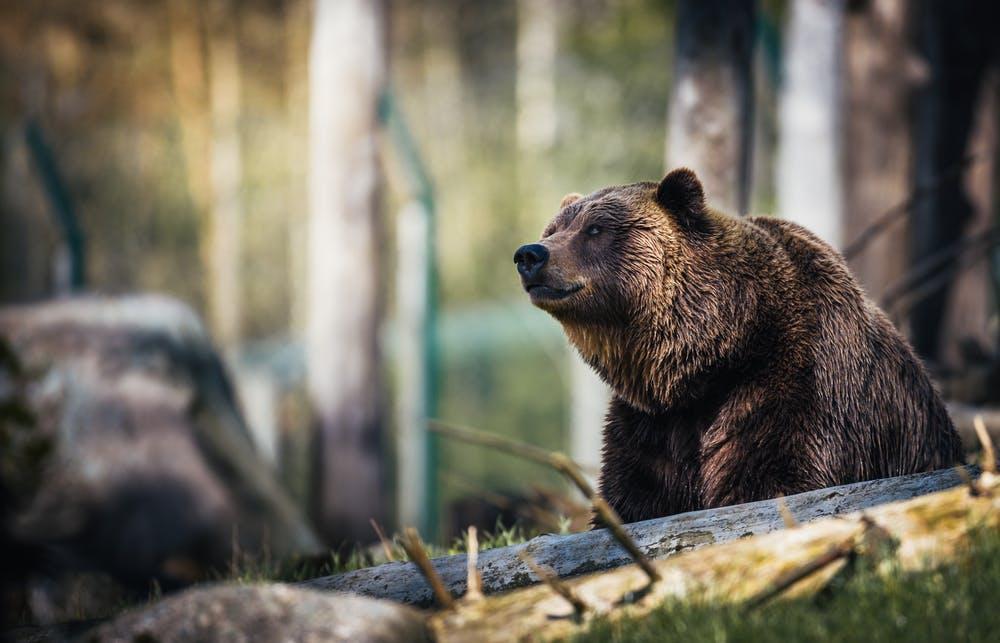Nocna walka z niedźwiedziem – jak sobie radzić